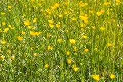 Желтое поле цветка Стоковые Изображения RF