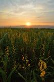 Желтое поле цветка Стоковое Изображение