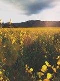 Желтое поле стоковые изображения