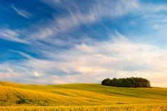 Желтое поле Стоковое фото RF