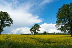 Желтое поле Стоковые Фотографии RF