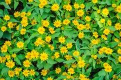Желтое поле zinnia Стоковые Фото