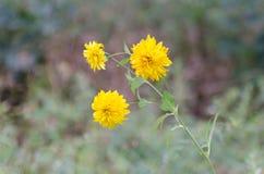 Желтое растущее цветков на луге лета, большая предпосылка нерезкости Стоковые Изображения RF