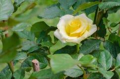 Желтое Роза в естественном саде Стоковые Фото