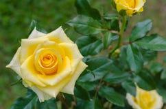 Желтое Роза в естественном саде Стоковое Изображение
