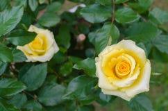 Желтое Роза в естественном саде Стоковое Изображение RF