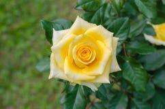 Желтое Роза в естественном саде Стоковое Фото