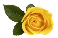 Желтое Роза изолированное на белом взгляд сверху Стоковые Фотографии RF