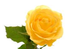 Желтое Роза на белой зоне Стоковое Изображение