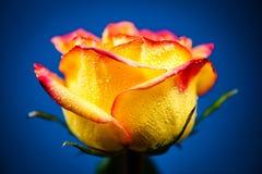 Желтое Роза Стоковое фото RF