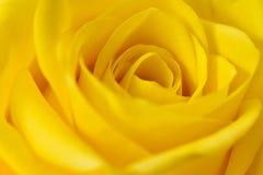Желтое Роза Стоковое Изображение RF