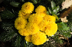 Желтое украшение цветка хризантемы Стоковое Изображение RF