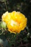 Желтое цветене кактуса шиповатой груши Стоковая Фотография