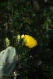 Желтое цветене кактуса шиповатой груши Стоковые Изображения RF