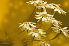 Желтое цветене маргариток на солнечный летний день Красивая желтая флористическая предпосылка цветков леса Конец-вверх стоковые фотографии rf