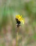 Желтое цветене одуванчика цветка весной outdoors в природе Стоковые Изображения RF