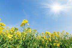 Желтое цветене цветка рапса в обрабатываемой земле Стоковые Изображения