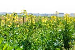 Желтое цветене цветка рапса в обрабатываемой земле Стоковая Фотография