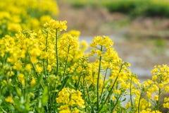 Желтое цветене цветка рапса в обрабатываемой земле Стоковые Изображения RF