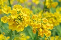 Желтое цветене цветка рапса в обрабатываемой земле Стоковое Изображение RF