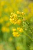 Желтое цветене цветка рапса в обрабатываемой земле Стоковые Фото