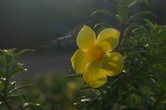 Желтое цветене цветков в утре Стоковое Изображение