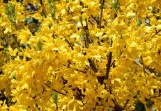 Желтое цветение ветви forsythia Стоковая Фотография