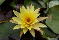 Желтое цветение лотоса в воде Стоковые Фотографии RF