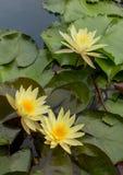 Желтое цветение лотоса в воде Стоковое Изображение