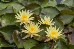 Желтое цветение лотоса Стоковое Изображение RF