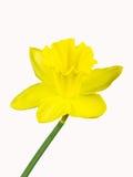 Желтое цветение daffodil изолированного на белой предпосылке Стоковые Фото