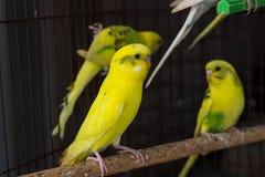 Желтое Budgie, птица волнистого попугайчика Стоковые Изображения