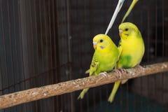 Желтое Budgie, птица волнистого попугайчика Стоковая Фотография