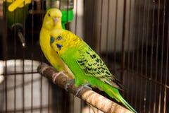 Желтое Budgie, птица волнистого попугайчика Стоковая Фотография RF