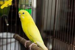 Желтое Budgie, птица волнистого попугайчика Стоковые Фото