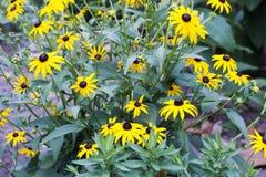Желтое Coneflowers Стоковые Изображения RF