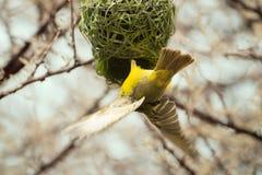 Желтое Finsh заканчивая гнездо Стоковые Фотографии RF