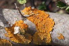 Желтое Fungas на дереве Стоковые Фотографии RF