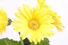 Желтое gerber Стоковые Изображения