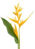 Желтое heliconia цветка длиннохвостого попугая Стоковые Изображения