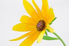 Желтое hirta Rudbeckia Стоковые Фотографии RF