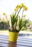 Желтое hyacint в цветочном горшке Стоковое Изображение RF