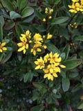 Желтое Jessamine Стоковое фото RF