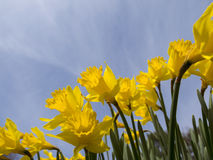 Желтое Jonquils на утре весны в солнечности Стоковая Фотография