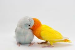 Желтое Lobebird и пастельное голубое Forpus Стоковые Изображения