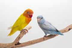 Желтое Lobebird и пастельное голубое Forpus Стоковое Изображение