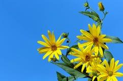 Желтое sunchoke Стоковая Фотография RF