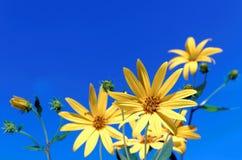 Желтое sunchoke Стоковые Изображения RF
