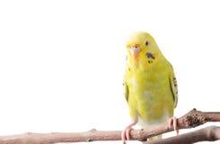 Желтое undulatus Melopsittacus птицы волнистого попугайчика Стоковое фото RF