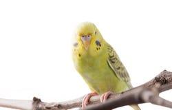 Желтое undulatus Melopsittacus птицы волнистого попугайчика Стоковое Изображение RF